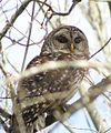Barred Owl (17132829166).jpg