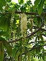 Barringtonia calyptrata flowers 1.jpg