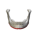 Base of mandible - close up - anterior view01.png