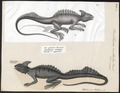 Basiliscus mitratus - 1700-1880 - Print - Iconographia Zoologica - Special Collections University of Amsterdam - UBA01 IZ12800035.tif