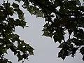 Bassora Tragacanth (3915578071).jpg