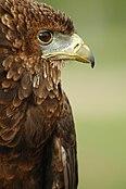 Bateleur Eagle.jpg