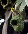 Baya Weaver Ploceus philippinus male Breeding plumage by Dr. Raju Kasambe DSC 5420 (28).jpg