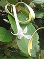 Bayur (Pterospermum diversifolium) flower 1.jpg