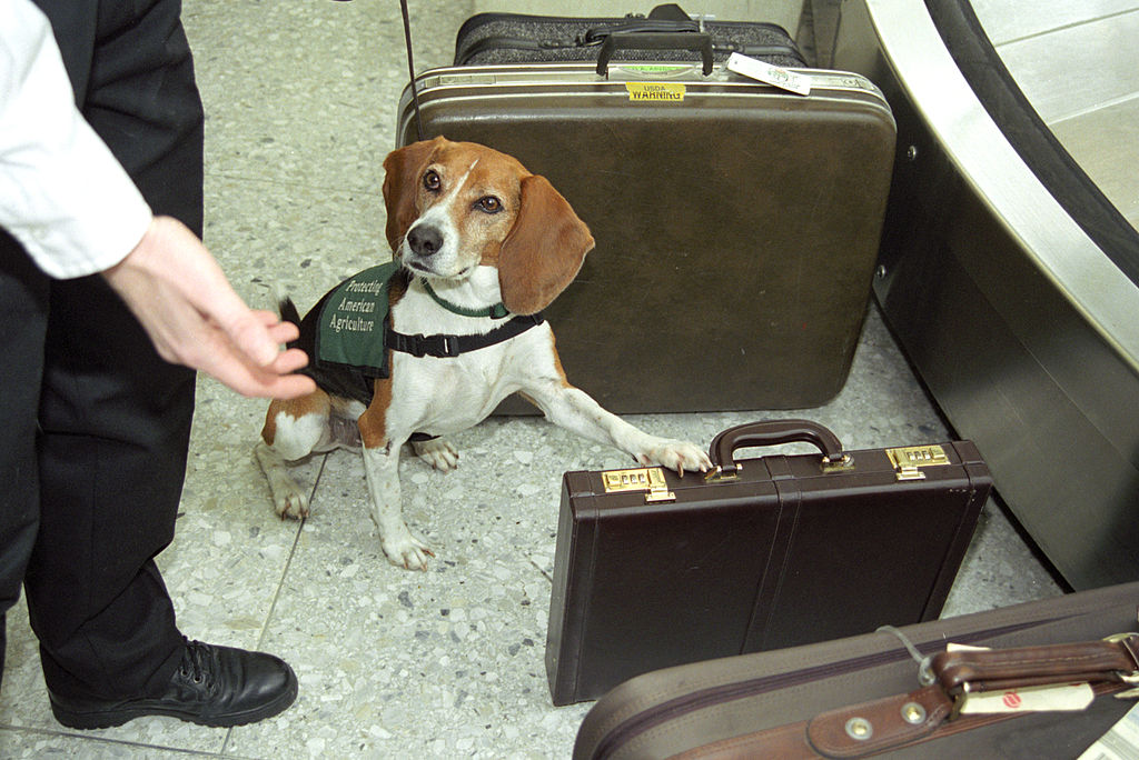 Can Airport Dogs Smell Lsd