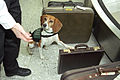 Beagle Brigade - Animal and Plant Health Inspection Service (APHIS), U.S. Department of Agriculture.jpg
