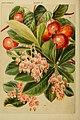 Beautiful flowering trees and shrubs for British and Irish gardens (1903) (20358731525).jpg
