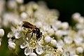 Bee laden with pollen (7253875050).jpg