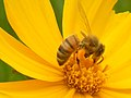 Bee on Coreopsis lanceolata — Stilgherrian 003.jpg