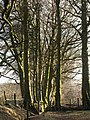 Beech trees at Lud Gate - geograph.org.uk - 1182923.jpg
