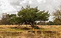 Beeldbepalende vliegden (Pinus sylvestris). Locatie, natuurgebied Delleboersterheide – Catspoele 01.jpg