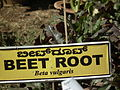 Beet root plant from lalbagh 2329.JPG