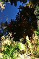Bellevue Botanical Garden 25 - Yao Garden - reflection with carp.jpg