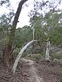 Bend of Eucalyptus Tree in the Land Down Under.jpg