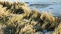 Bensersiel Esens Strandgras.jpg
