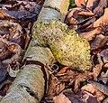 Berkenzwam (Piptoporus betulinus) (d.j.b.) 15.jpg