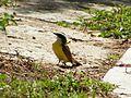 Bichofeo flycatcher (Maracay, Venezuela).jpg