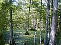 Big Cypress Bayou.JPG