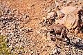 Big Horned Sheep Valley Of Fire - 5133179121.jpg