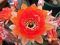 Big red cactus flower (Echinopsis) (3497773850).jpg