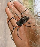 Big spider in Mozambique.JPG