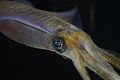 Bigfin Reef Squid (Sepioteuthis lessoniana) (16063247395).jpg