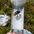 Bilberry Bumblebee in Sample Tube.jpg
