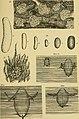 Biologische studien über dytisciden (1912) (20354643596).jpg
