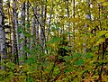 Birch (7987392844).jpg