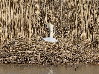 Mute swan - Nest of Mute swan in Sweden