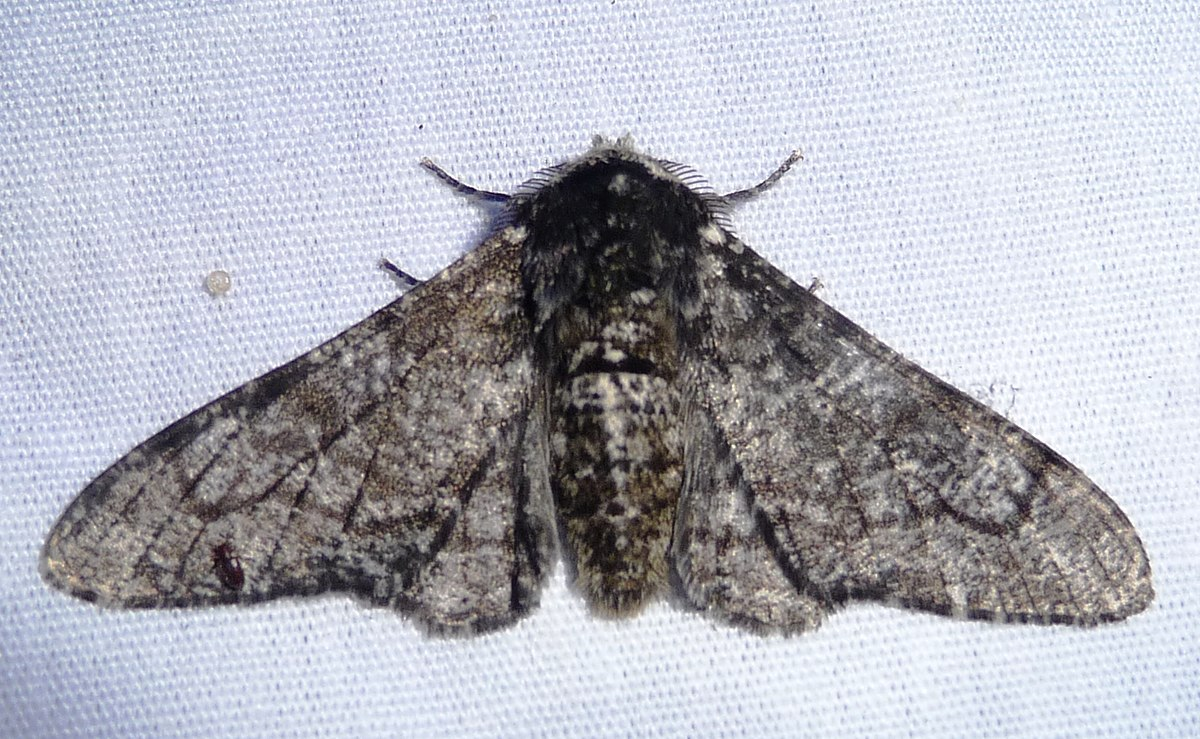Peppered Moth Natural Selection Experiment