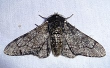 Biston betularia male.jpg