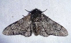 Biston betularia male.jpg