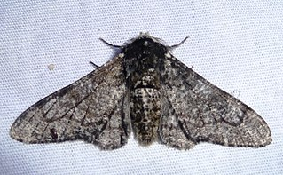 Peppered moth Species of insect