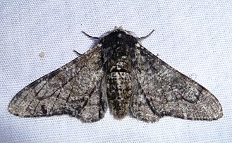 Peppered moth - Image: Biston betularia male