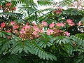 Blätter und Blüten Seidenbaum.JPG