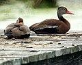 Black Bellied Whistling Ducks (5001593599).jpg