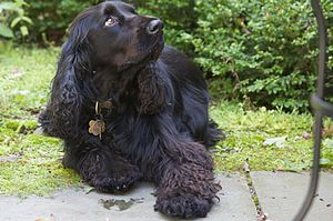 Field Spaniel - A solid-black-coloured Field Spaniel.