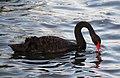 Black Swan 5 (31919362876).jpg