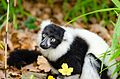 Black and white Ruffed Lemur (24423815534).jpg