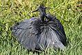 Black heron, Egretta ardesiaca, at Marievale Nature Reserve, Gauteng, South Africa (30452732065).jpg