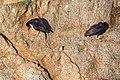 Black oystercatcher (30862056893).jpg