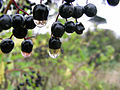 Blackcurrant drops.jpg