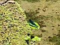 Blauflügel-Prachtlibelle (Calopteryx virgo), 2019.jpg