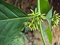Blepharistemma serratum at Periya (1).jpg