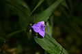 Blue-forest-wildflower-macro - West Virginia - ForestWander.jpg