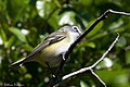 Blue-headed Vireo Sabine Woods High Island TX 2018-04-26 09-22-40-2 (28217944608).jpg