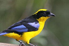Blue-winged Mountain-tanager Ecuador 1357a.jpg