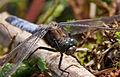 Blue Dragonfly 1 (7622682292).jpg