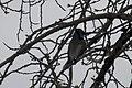 Blue Jay (Cyanocitta cristata) - Saskatoon.jpg